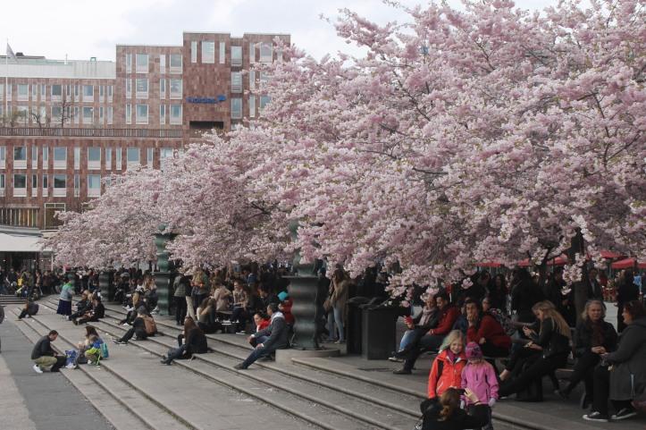 Cherry Blossom in Stockholm 3