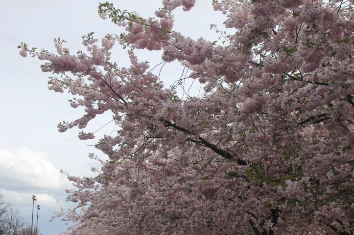 Cherry Blossom in Stockholm 4