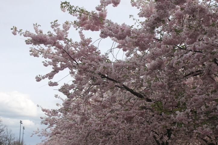 Cherry Blossom in Stockholm 4