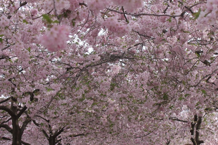 Cherry Blossom in Stockholm 5