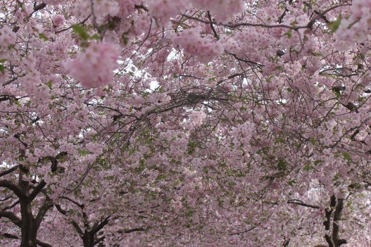 Cherry Blossom in Stockholm 5