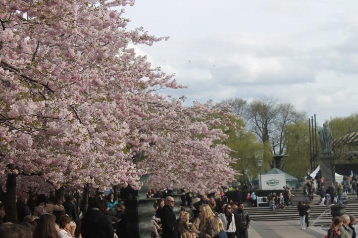 Cherry Blossom in Stockholm 6