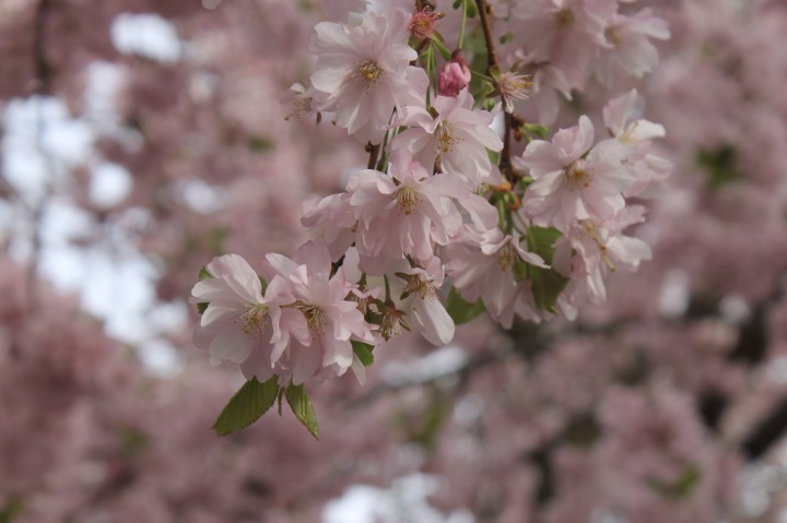 Cherry Blossom in Stockholm 7
