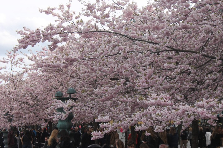 Cherry Blossom in Stockholm 8