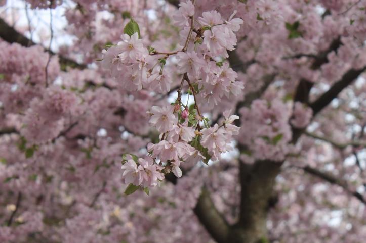 Cherry Blossom in Stockholm