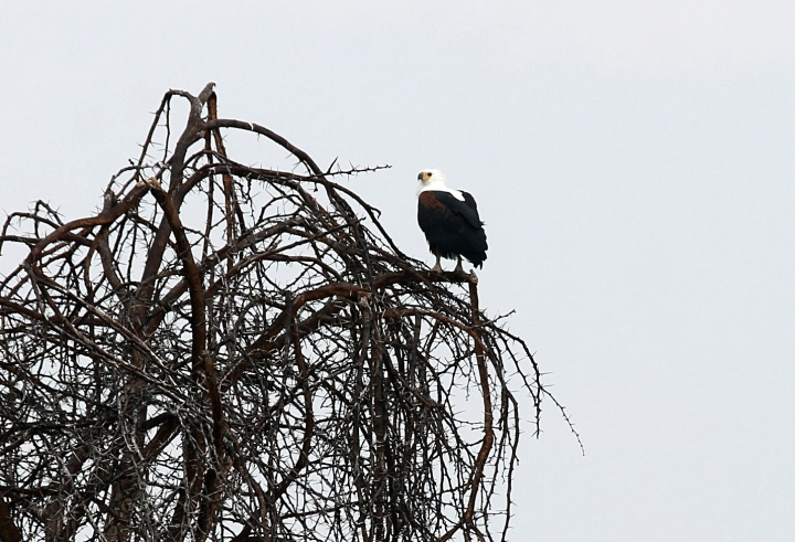 African Fish Eagle - Lake Naivasha