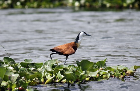 African Jacana - Lake Naivasha