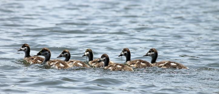 Ducks - Lake Naivasha