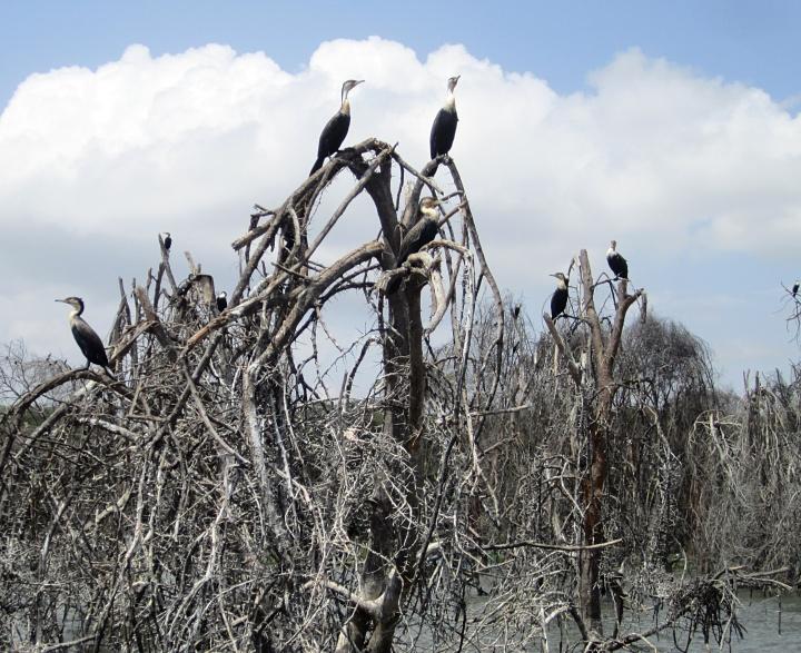 Great cormoranats - Lake Naivasha