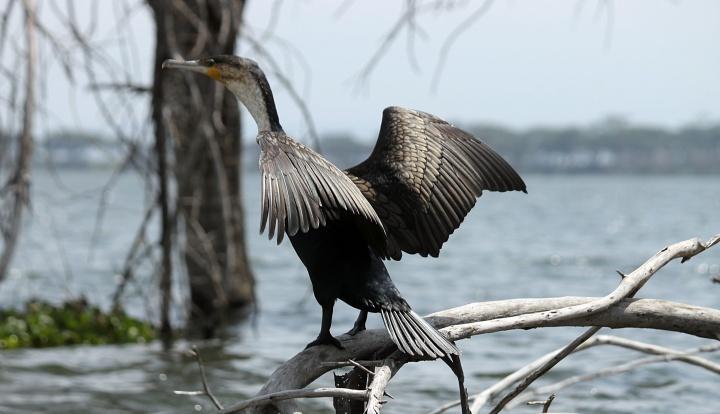 Great Cormorant- Lake Naivasha