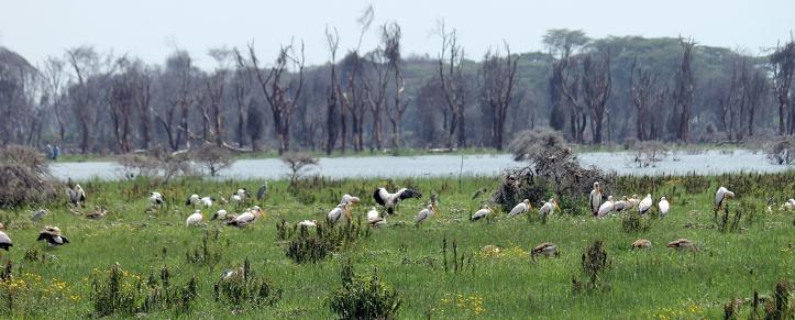 Pelicans - Lake Naivasha, Kenya