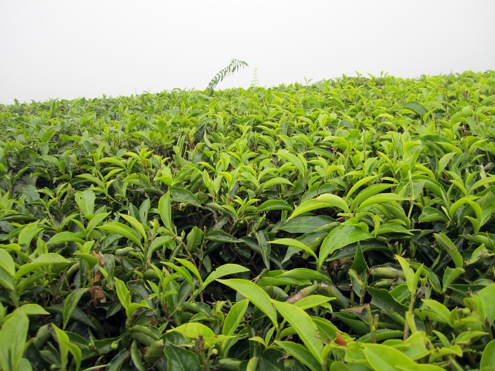 Coffe plantation, Nairobi